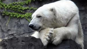 17.8.2014_Πέθανε η τελευταία πολική αρκούδα της Αφρικής