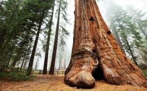 18.8.2014_Απειλούνται τα υψηλότερα δέντρα του κόσμου