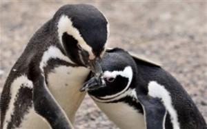 2.8.2014_Αποκωδικοποιήθηκε μυστική γλώσσα των πιγκουίνων