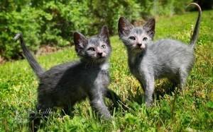 18.9.2014_Διχάζει το νέο είδος «γάτας-λύκου»