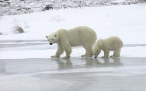 3.9.2014_Πρωτοποριακή τεχνική για την παρακολούθηση πολικών αρκούδων