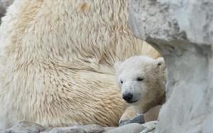 13.10.2014_Η κλιματική αλλαγή συρρικνώνει τις πολικές αρκούδες