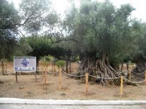 29.10.2014_Ανάδειξη Μνημειακών Ελαιοδένδρων