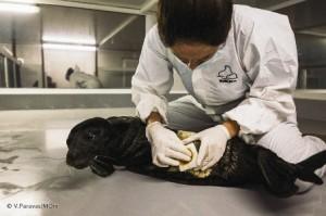 18.11.2014_Διάσωση ορφανής νεογέννητης φώκιας στη Σκόπελο