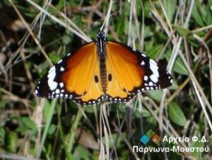 22.11.2014_Πεταλούδα τίγρης πεδιάδας