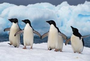 19.12.2014_Πώς αντέχουν το ψύχος της Ανταρκτικής οι πιγκουΐνοι;