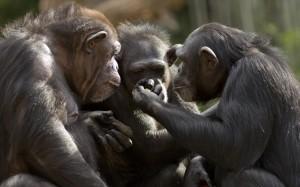 25.1.2015_Οι χιμπατζήδες «μιλάνε» για δέντρα και τα αγαπημένα τους φρούτα
