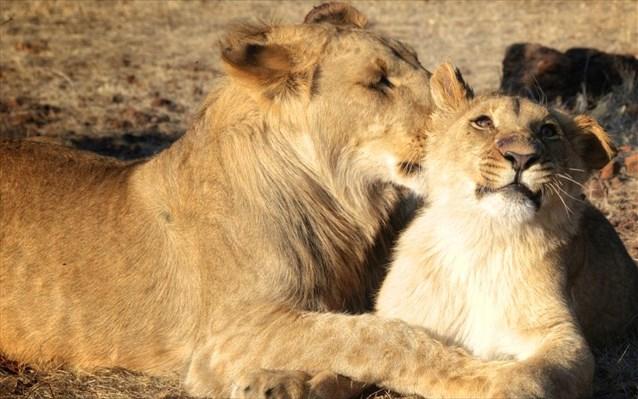 12.2.2015_Επιτυχημένη τεχνητή γονιμοποίηση λιονταριών με καινοτόμο τεχνολογία