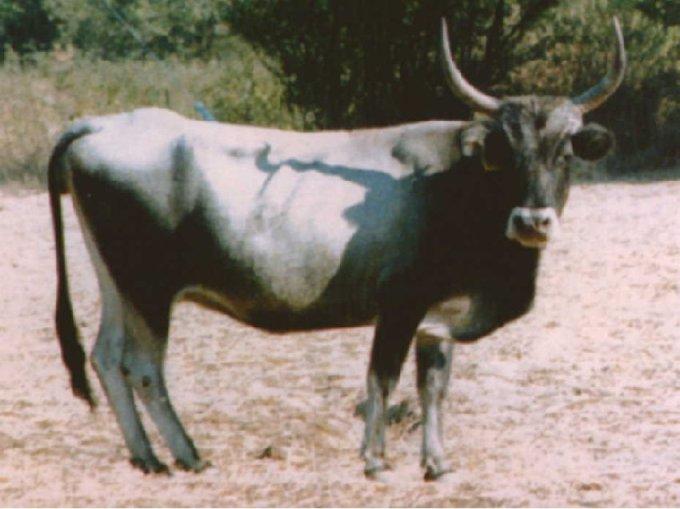 Αγελάδα της στεπικής φυλής, με ιστορία χιλιάδων ετών στον Ελληνικό χώρο, όμοια με την προηγούμενη απεικόνιση στο χρυσό κύπελο.