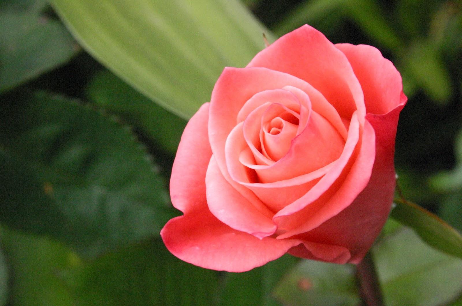 4.4.2015_Garden Therapy Τριανταφυλλιά η βασίλισσα