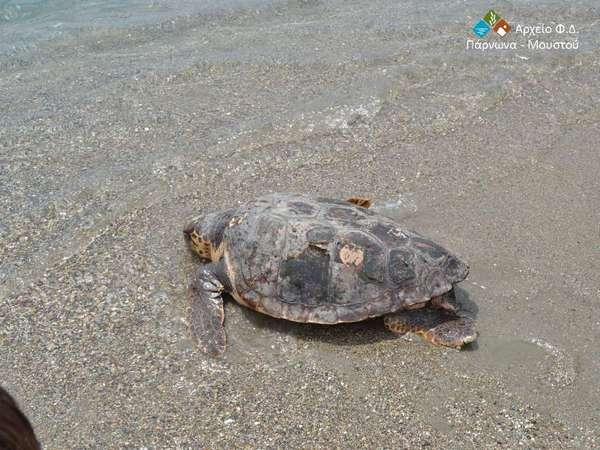 16.6.2015_Απελευθέρωση θαλάσσιας χελώνας Caretta caretta στο παράλιο Άστρος