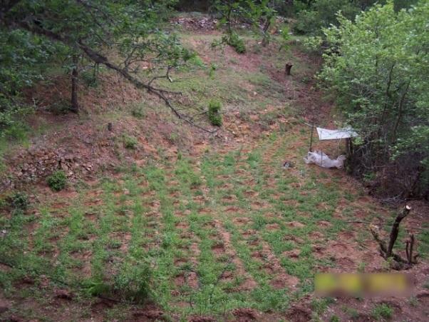 6.6.2015_Εντοπίστηκε μεγάλη φυτεία δενδρυλλίων κάνναβης σε δασώδη περιοχή της Αρκαδίας