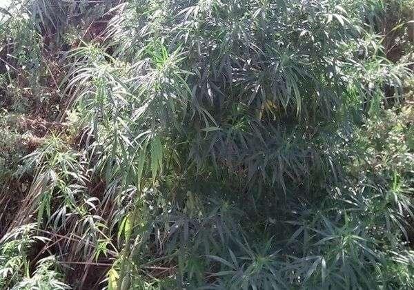 3.9.2015_Εντοπίστηκε φυτεία με δενδρύλλια κάνναβης στη Σκάλα Λακωνίας