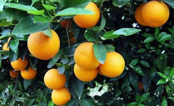 19.11.2015_Την προστασία των πορτοκαλοπαραγωγών ζητά ο Μ. Κεφαλογιάννης από την Ευρωπαϊκή Επιτροπή