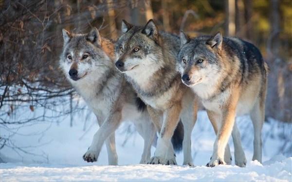 10.2.2016_Οι λύκοι