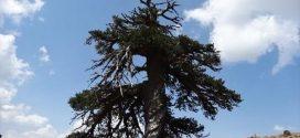 Στην Ελλάδα το αρχαιότερο δέντρο της Ευρώπης