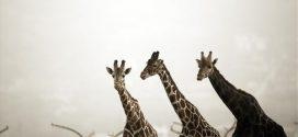 Μοζαμβίκη: Μεταφορά 7.500 άγριων ζώων σε πάρκο που ερήμωσε από τον εμφύλιο