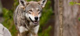 Λύκοι στην περιοχή της Ρώμης μετά από 100 χρόνια