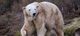 Σκωτία: Γέννηση πολικής αρκούδας μετά από 25 χρόνια