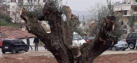 Επτά αιωνόβιες ελιές μεταφυτεύονται στο Δήμο Θηβαίων