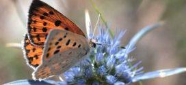 Έκδοση για τις Πεταλούδες του Πάρνωνα από τον Φορέα Διαχείρισης Π.Μ.Μ.Μ