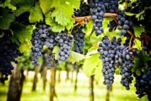 29.7.2014_Η υπερθέρμανση του πλανήτη απειλεί να αλλάξει τη γεωγραφία παραγωγής κρασιού