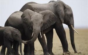 23.8.2014_Οι ελέφαντες της Αφρικής απειλούνται περισσότερο από ποτέ