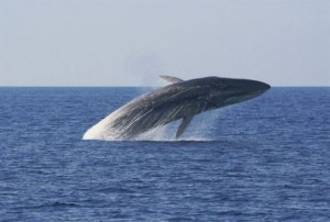 9.8.2014_Η διάσωση των φαλαινών είναι κλειδί για την καταπολέμηση της κλιματικής αλλαγής
