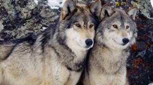 1.9.2014_Το χασμουρητό είναι μεταδοτικό και στους λύκους