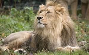 15.9.2014_Εξαφανίζονται τα ασιατικά λιοντάρια
