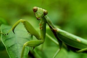2.9.2014_Αλογάκι της Παναγίας (Mantis religiosa)