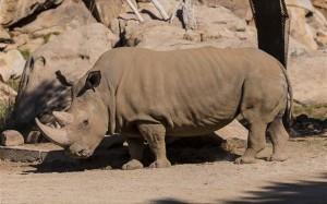 16.12.2014_Μόλις πέντε βόρειοι λευκοί ρινόκεροι απομένουν στον κόσμο