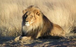 4.1.2014_Τανζανία σφαγιάστηκαν έξι σπάνια λιοντάρια από εξαγριωμένους κατοίκους