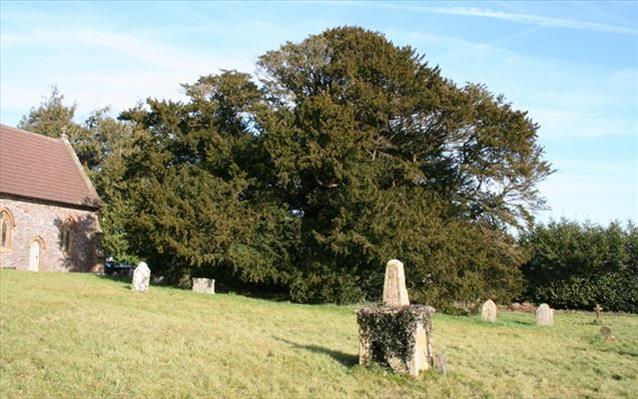 30.4.2015_Βρετανία Κινδυνεύει δέντρο 4.000 ετών