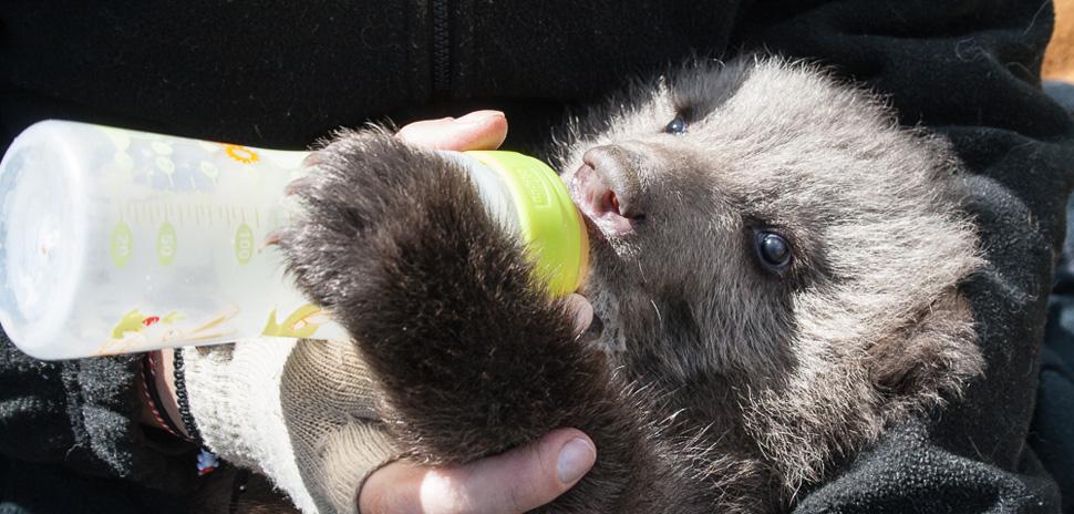 4.4.2015_Το ορφανό αρκουδάκι Πάτρικ