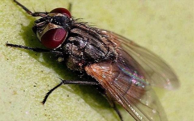 22.5.2015_Οι μύγες νιώθουν φόβο και άλλα συναισθήματα