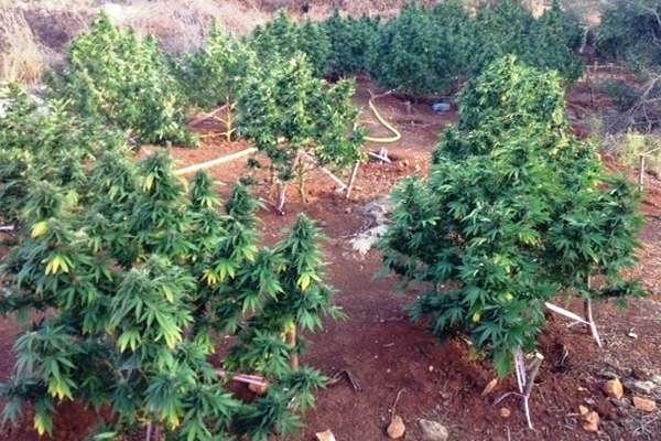 24.9.2015_Εντοπίστηκε φυτεία με 328 δενδρύλια κάνναβης στη Λακωνία